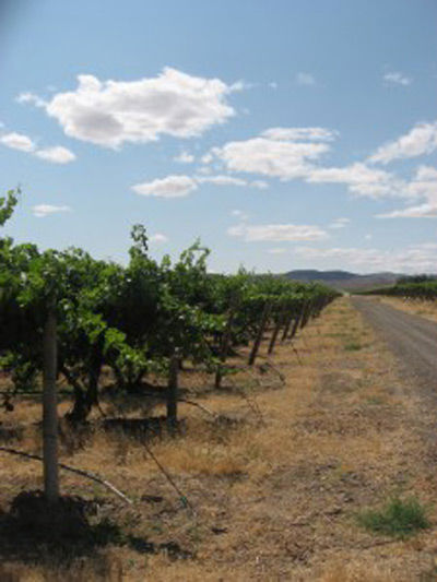 Coldwater Creek Vineyard June