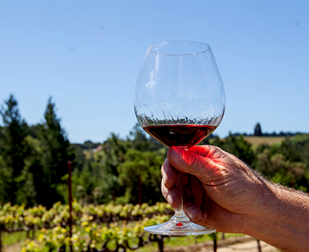 A glass of red wine held in front a grape vines
