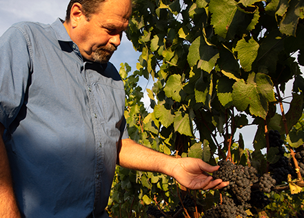 James Hall examining a bunch of grapes on the vine