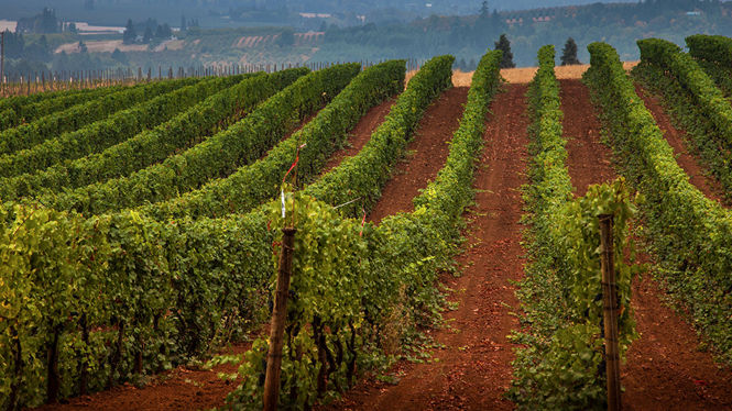 A wide view of the vineyard