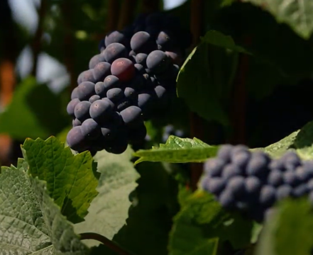 Pinot Noir grapes on the vine.